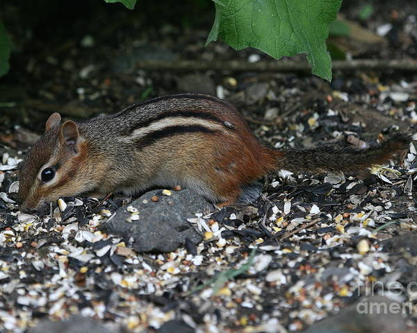 Chippie Poster featuring the photograph Chipmunk by Ken Keener