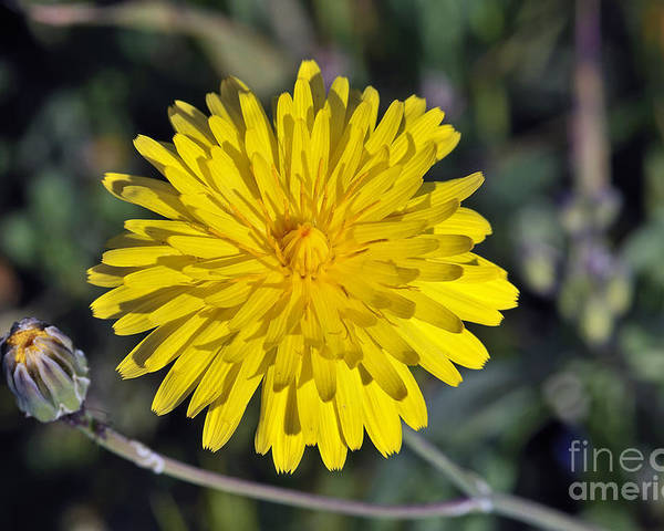 Picris Hieracioides; Yellow; Flower; Wild; Plant; Spring; Print; Photograph; Photography; Springtime; Season; Nature; Natural; Natural Environment; Natural World; Flora; Bloom; Blooming; Blossom; Blossoming; Color; Colour; Colorful; Colourful; Earth; Environment; Ecological; Ecology; Country; Landscape; Countryside; Scenery; Macro; Close-up; Detail; Details; Esthetic; Esthetics; Artistic; Beautiful; Beauty; Flowers Poster featuring the photograph Spring Wild Flower by George Atsametakis