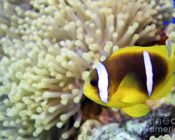 Amphiprion Bicinctus Poster featuring the photograph Twoband Anemonefish by Dimitris Neroulias