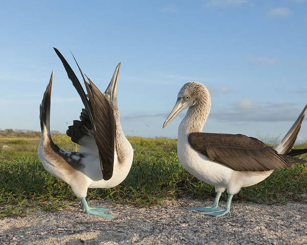 531712 Poster featuring the photograph Blue-footed Booby Pair Courting by Tui De Roy