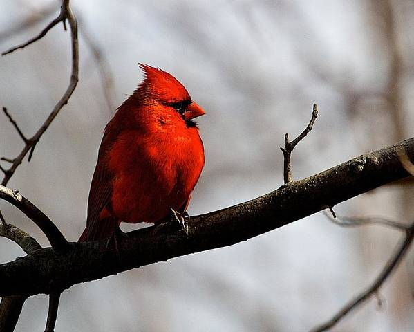 Nature Poster featuring the photograph Northern Cardinal Male by Dan Ferrin
