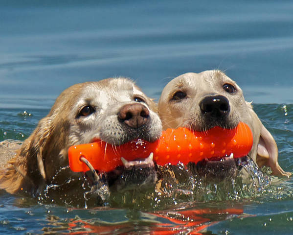 Lake Tahoe Poster featuring the photograph Yellow Labradors by Steven Lapkin