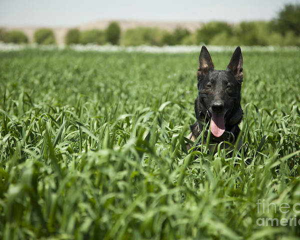 Afghanistan Poster featuring the photograph A Military Working Dog Sits In A Field by Stocktrek Images