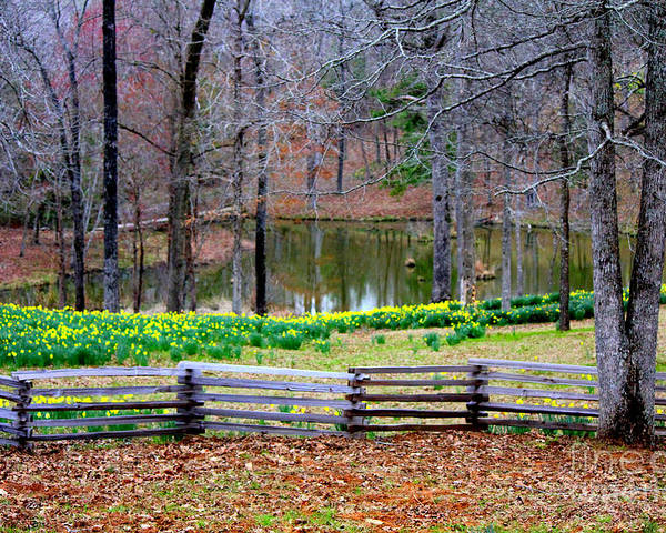 Yellow Daffodils Poster featuring the photograph A Place Of Peace Among The Daffodils by Kathy White