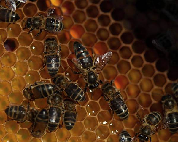 Worker Bees Poster featuring the photograph A Queen Bee Walks In The Center by Chico Sanchez