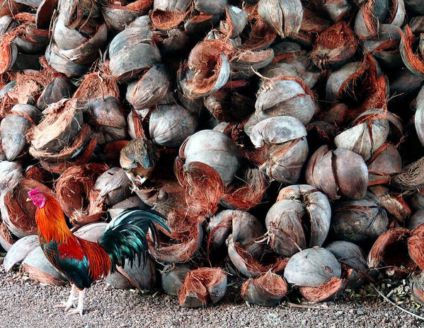 Rooster Poster featuring the photograph A Rooster And His Coconuts by Kaleidoscopik Photography