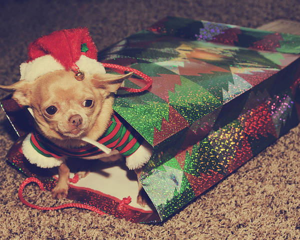 Dog Poster featuring the photograph A Sweet Christmas Surprise by Laurie Search