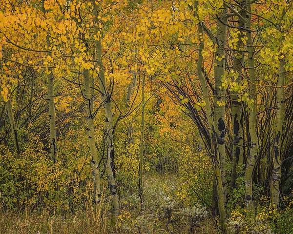 Aspens Poster featuring the photograph A Teton Autumn by Tom Fretz