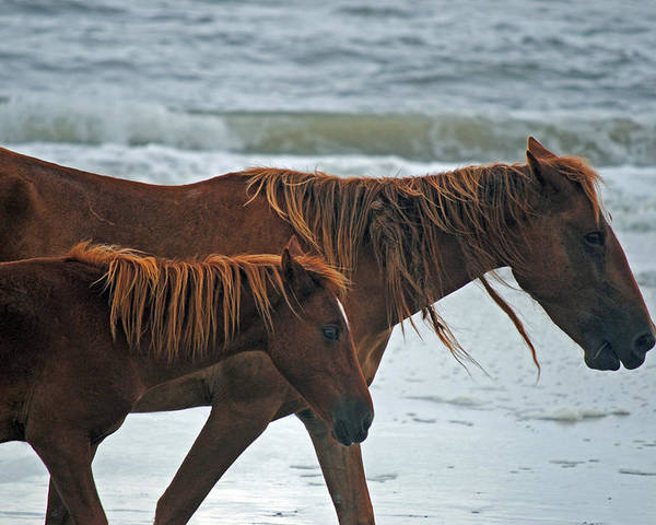 Horses Poster featuring the photograph A Walk At The Beach by Karen Kluglein