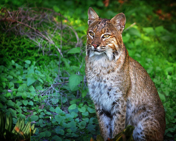 Bobcat Poster featuring the photograph A Watchful Eye by Mark Andrew Thomas