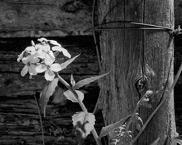 Flower Poster featuring the photograph A White Flower With An Old Fence by John B Poisson
