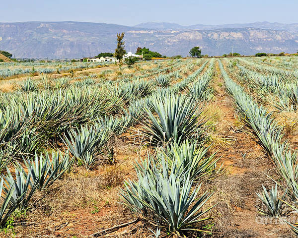 Agave Poster featuring the photograph Agave Cactus Field In Mexico by Elena Elisseeva