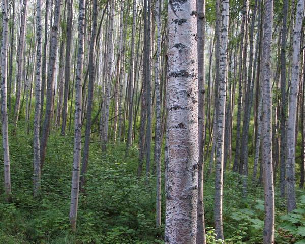 Alaska Poster featuring the photograph Alaska - A Dense Grove Of Birch Trees by Scott Lenhart