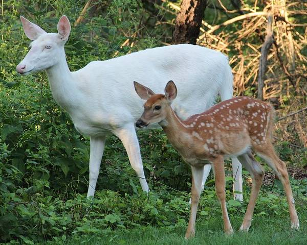 Albino Poster featuring the photograph Albino Doe And Fawn by Theresa Meegan