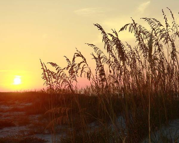 Sea Oats Poster featuring the photograph Amber Waves Of Oats by Steve Jones