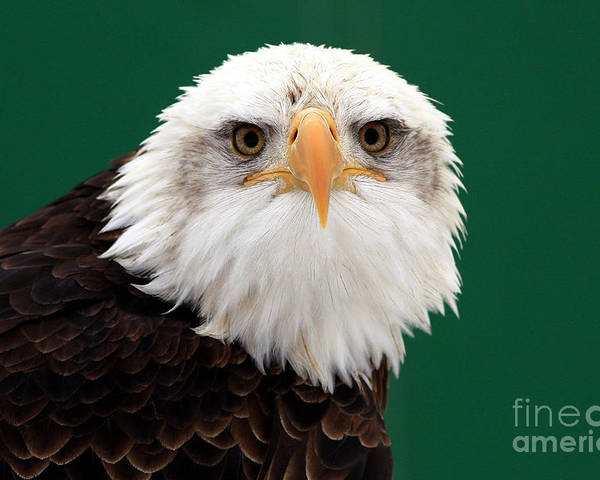 American Bald Eagle Poster featuring the photograph American Bald Eagle On The Look Out by Inspired Nature Photography Fine Art Photography