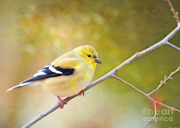 Branch Poster featuring the photograph American Goldfinch - Digital Paint by Debbie Portwood