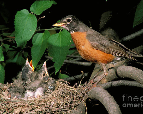American Robin Poster featuring the photograph American Robin Feeding Its Young by David N. Davis