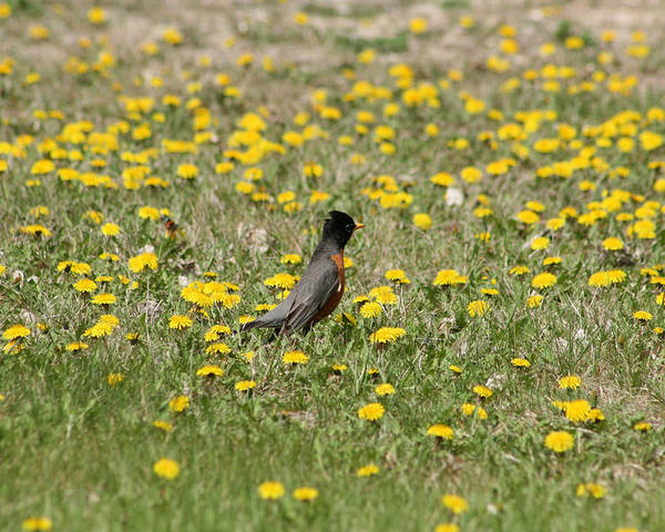 American Robin Poster featuring the photograph American Robin In A Field Of Dandelions by Robert Hamm