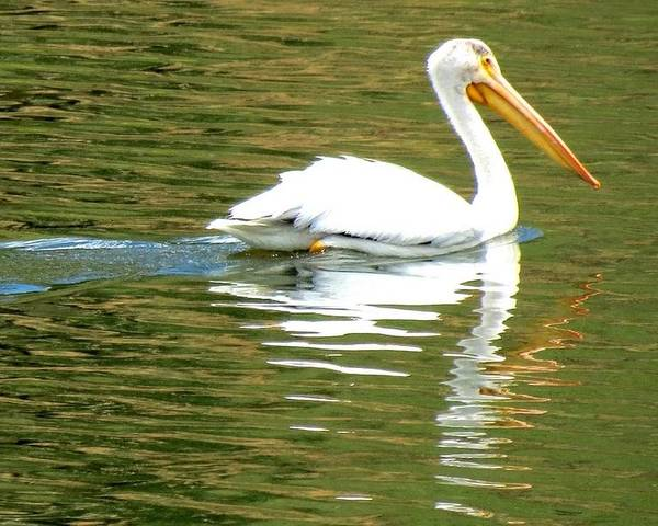 Colorado Poster featuring the photograph American White Pelican On A Lake by Marilyn Burton