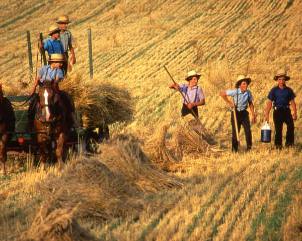 Amish Poster featuring the photograph Amish Boys Wheat Harvest by Blair Seitz