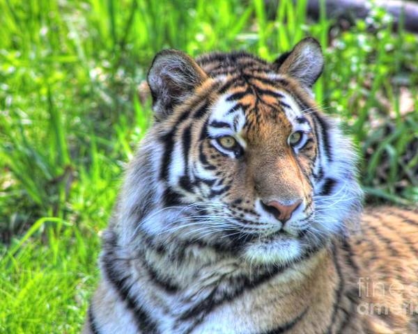 Amur Tiger Poster featuring the photograph Amur Tiger 6 by Jimmy Ostgard