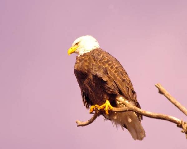 Eagle Poster featuring the photograph An Eagle Hanging Out by Jeff Swan