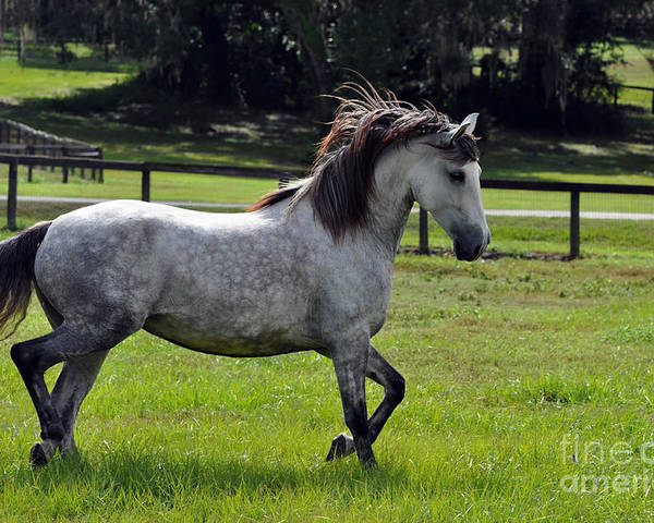 Andalusian Poster featuring the photograph Andalusian Mare Golodrina II by Francine Hall