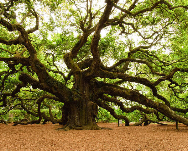 Tree Poster featuring the photograph Angel Oak Tree 2009 by Louis Dallara