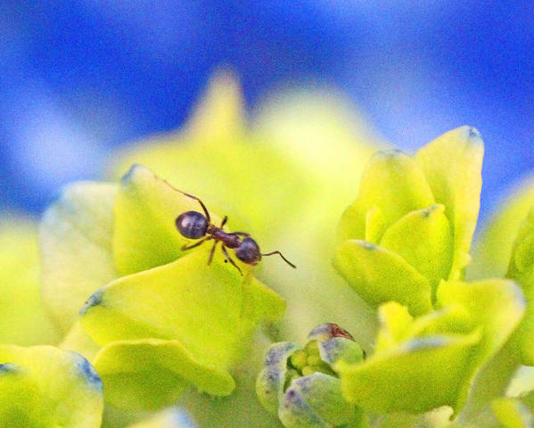 Style Poster featuring the photograph Ant And Hydrandea by Mark Tsemak