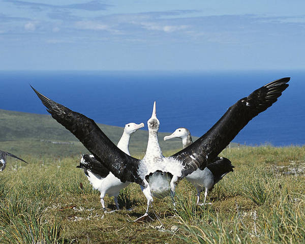 Feb0514 Poster featuring the photograph Antipodean Albatross Courtship Display by Tui De Roy