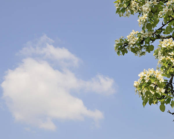 Apple Blossom Poster featuring the photograph Apple Blossom In Spring Blue Sky by Matthias Hauser