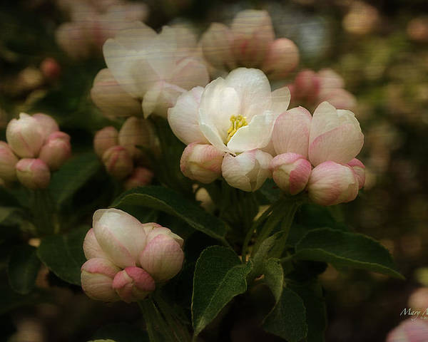 Apple Poster featuring the photograph Apple Blossom Time by Mary Machare
