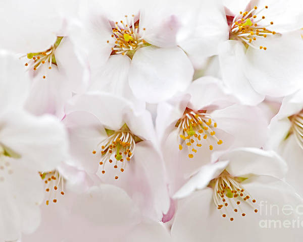Apple Blossoms Poster featuring the photograph Apple Blossoms by Elena Elisseeva
