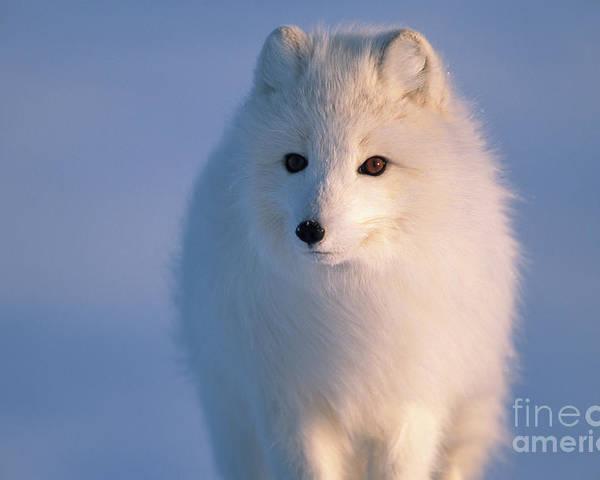 00342972 Poster featuring the photograph Arctic Fox, Alaska by Yva Momatiuk and John Eastcott
