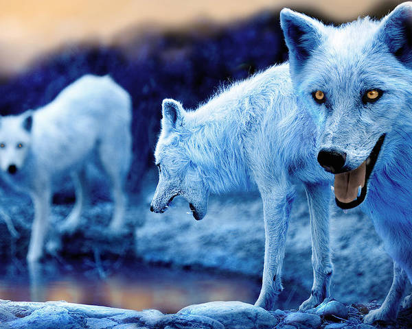 Wolf Poster featuring the photograph Arctic White Wolves by Mal Bray