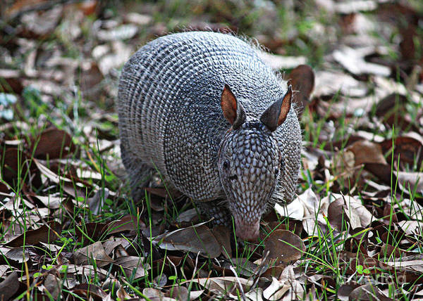 Armadillo Poster featuring the photograph Armadillo Closeup by Carol Groenen