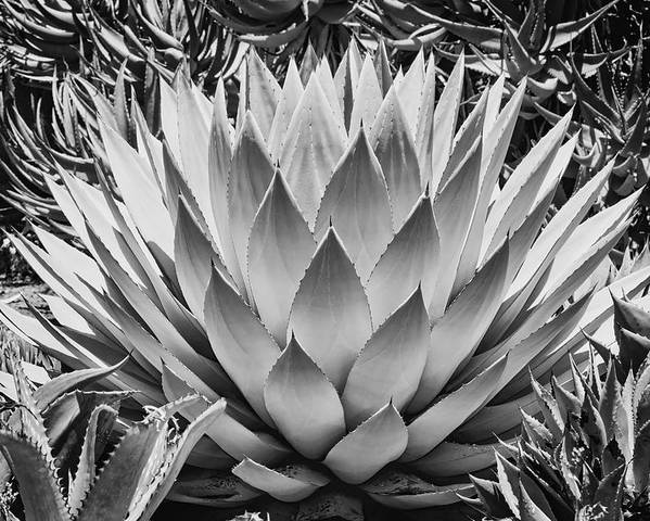 Black And White Poster featuring the photograph Artichoke Agave B W by Kelley King