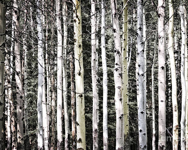 Trees Poster featuring the photograph Aspen Tree Trunks by Elena Elisseeva