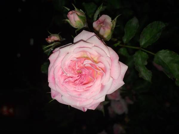 Rose Poster featuring the photograph At Night by Margaret Hwang