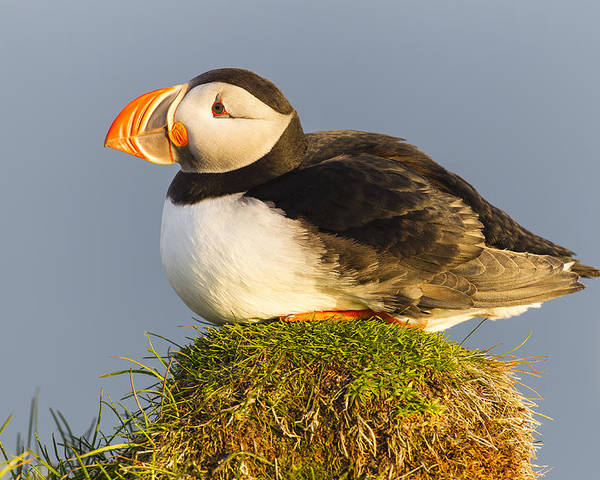 Nis Poster featuring the photograph Atlantic Puffin Iceland by Peer von Wahl