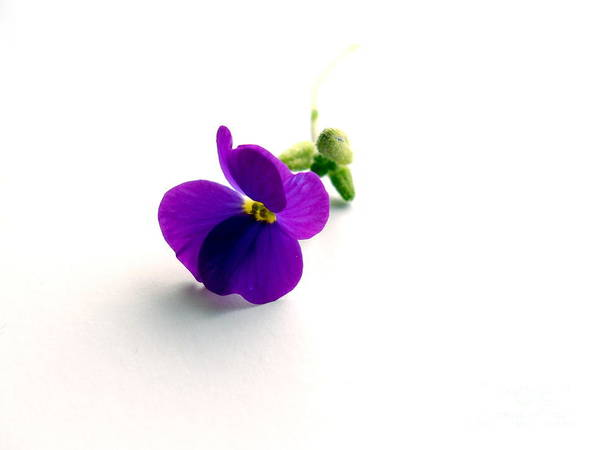 Aubretia Poster featuring the photograph Aubretia by Phil Paynter
