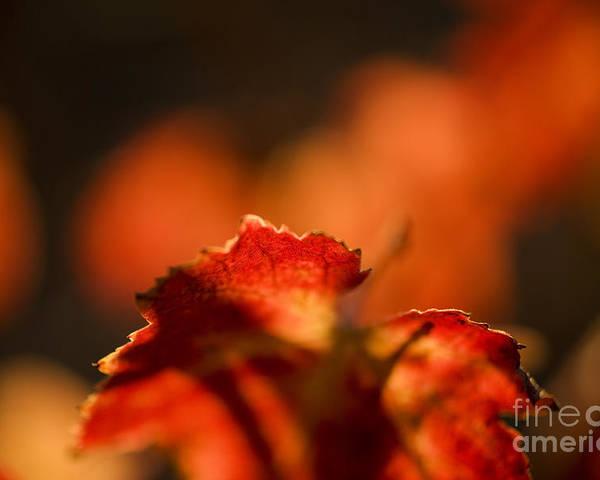 California Poster featuring the photograph Autumn Grape Leaf Macro by Charmian Vistaunet
