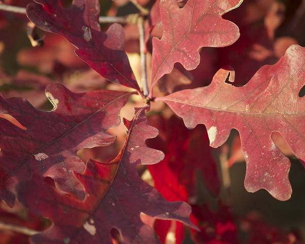 Leaves Poster featuring the photograph Autumn Is When Every Leaf Is A Flower by Jeannette Cruz