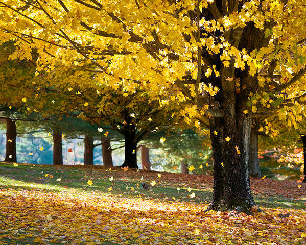 Autumn Poster featuring the photograph Autumn Maple Tree Fall Foliage - Wonderland by Dave Allen
