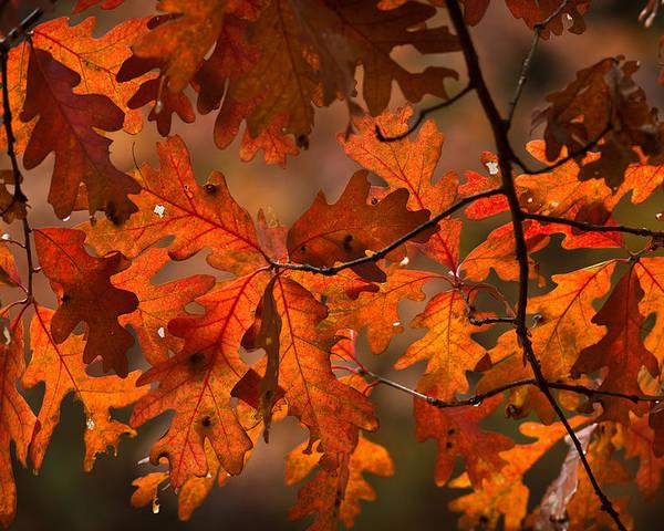 Tree Poster featuring the photograph Autumn Oak by Steve Gadomski
