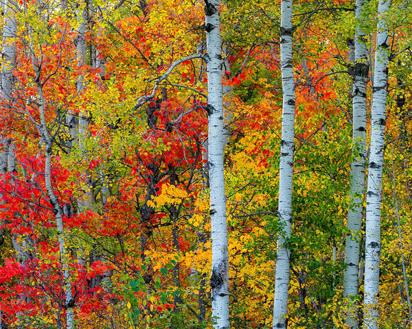 autumn Palette hawk Ridge lester Park lake Superior duluth minnesota fall Color Birch seven Bridges Rd Trees Nature greeting Cards mary Amerman Poster featuring the photograph Autumn Palette by Mary Amerman