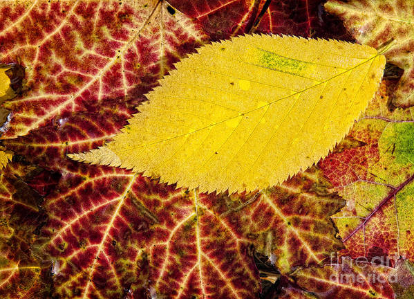 Leaf Poster featuring the photograph Autumn Yellow by Claudia Kuhn