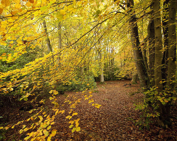 Autumn Poster featuring the photograph Autumnal Woodland II by Natalie Kinnear