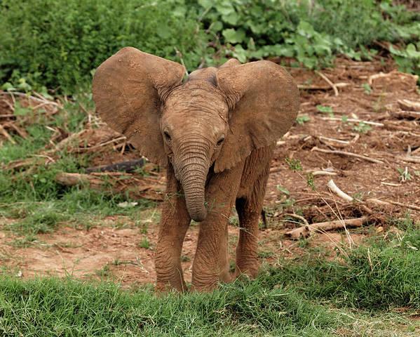 Adam Jones Poster featuring the photograph Baby Africa Elephant, Samburu National by Adam Jones